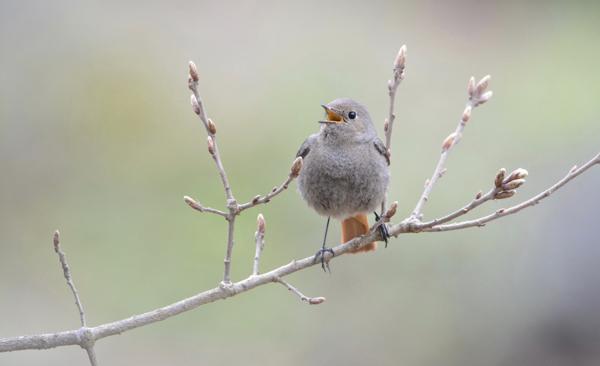 oiseau Monnet Gabriel