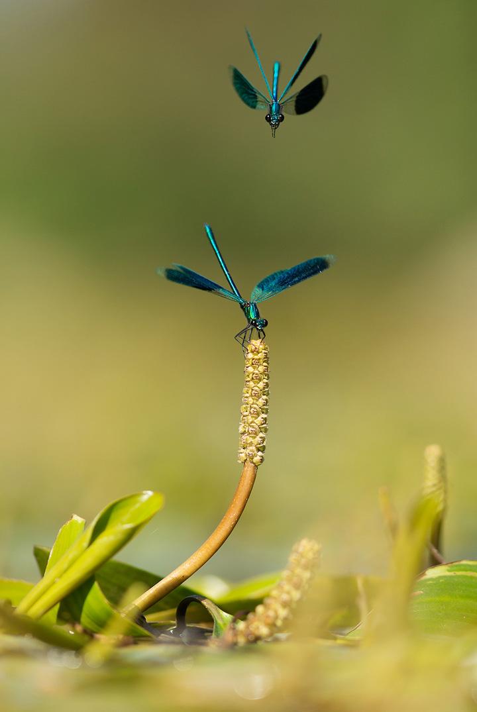 daniel-magnin-calopteryx-splendens-1