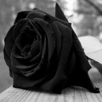 rose-noir-300x300