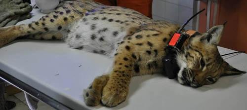 Athénas lynx-pose-de-collier-GPS