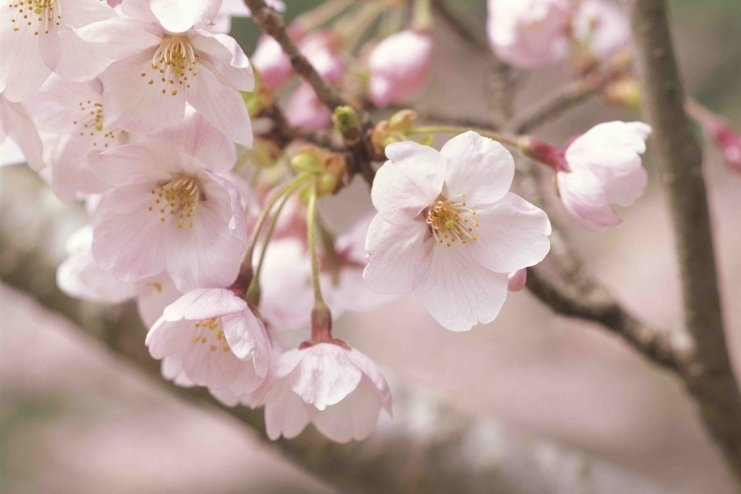 Emmanuelle GRUNDMANN Japon cerisiers