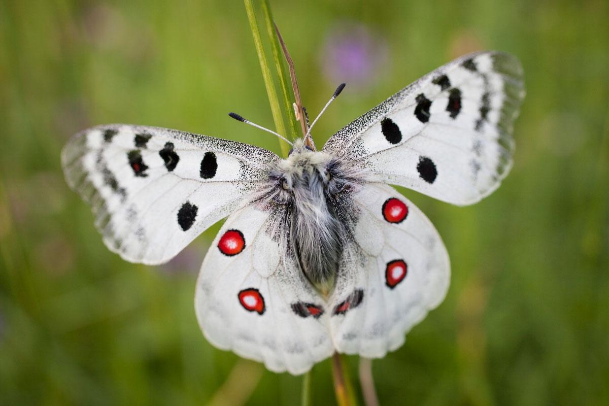 papillon blanc
